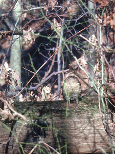 Grouse camoflauged within wooded area