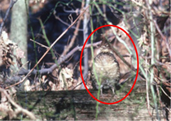 Red circle around Grouse where camoflauged in the wooded area