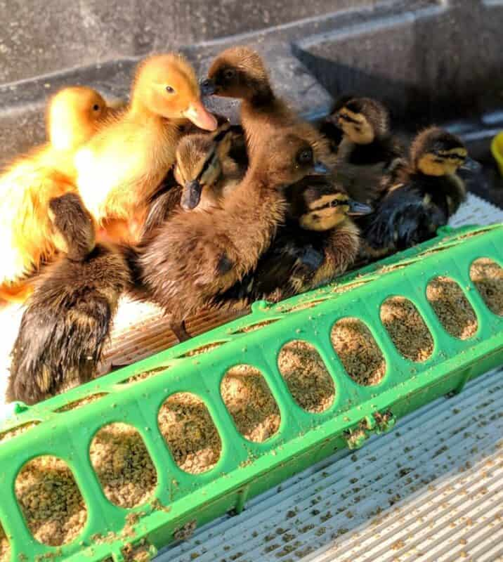 What to feed ducklings
